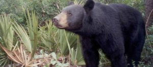 Lewis Ocean Bays Home To Native Bears