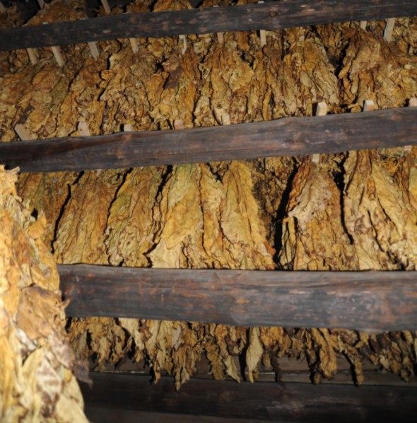Golden Leaf Tobacco